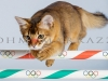 Olympic Cat Jumps Hurdles