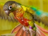Brilliant Plumage Parakeet Photo