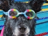 Dog Wearing Swimming Goggles