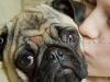 Cute Pug Gets a Kiss