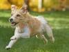 Terrier Show Dog Running